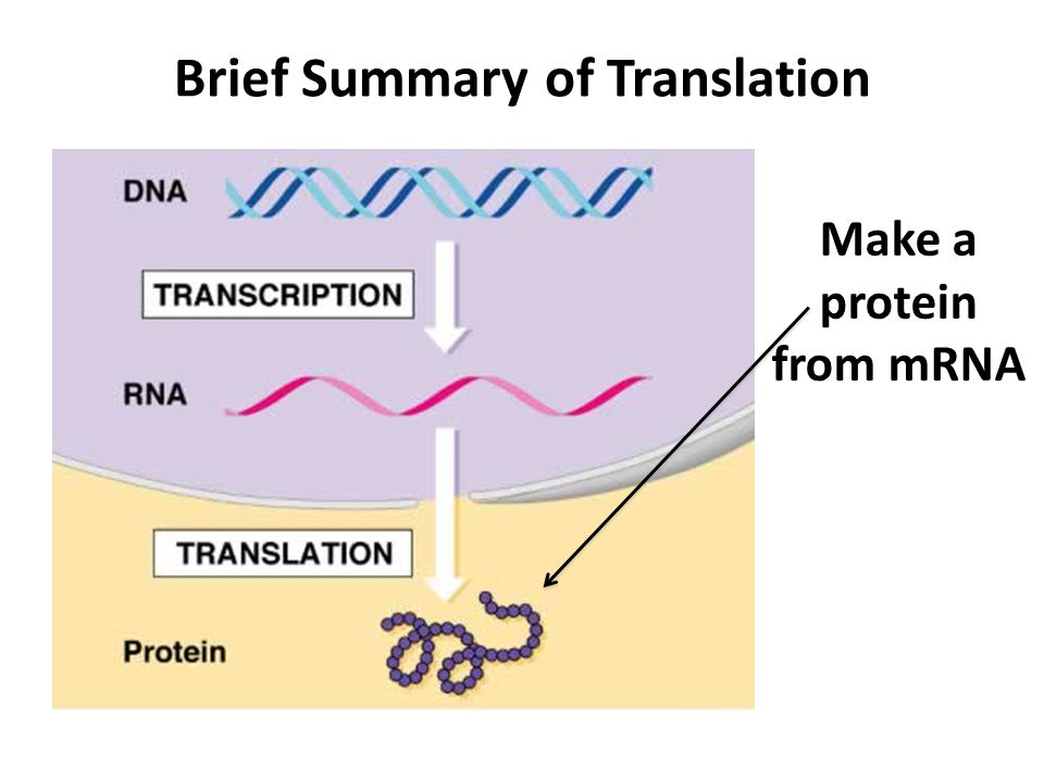 Brief Summary of Translation Make a protein from mRNA