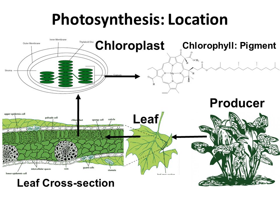 Photosynthesis: Location Producer Leaf Leaf Cross-section Chloroplast Chlorophyll: Pigment