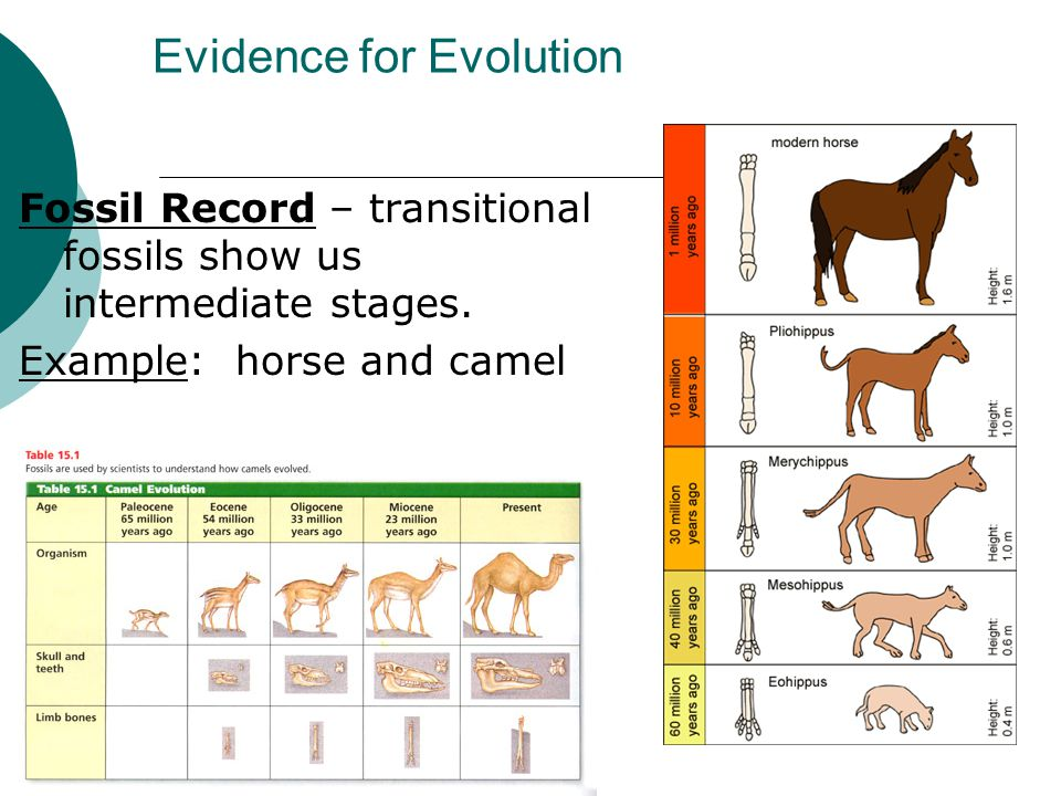 Evidence for Evolution Fossil Record – transitional fossils show us intermediate stages. Example: horse and camel