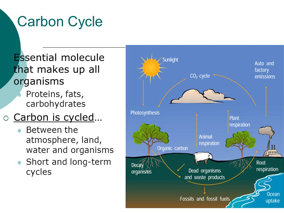 Carbon Cycle  Essential molecule that makes up all organisms Proteins, fats, carbohydrates  Carbon is cycled… Between the atmosphere, land, water an