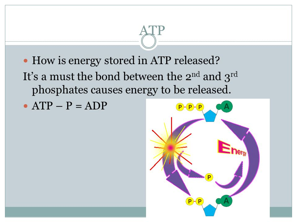 ATP ATP: the basic energy source Adenosine triphosphate = (ATP) Energy is stored in ATP.