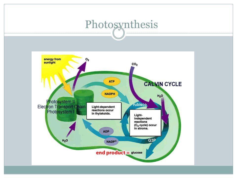 ATP ATP Cycle