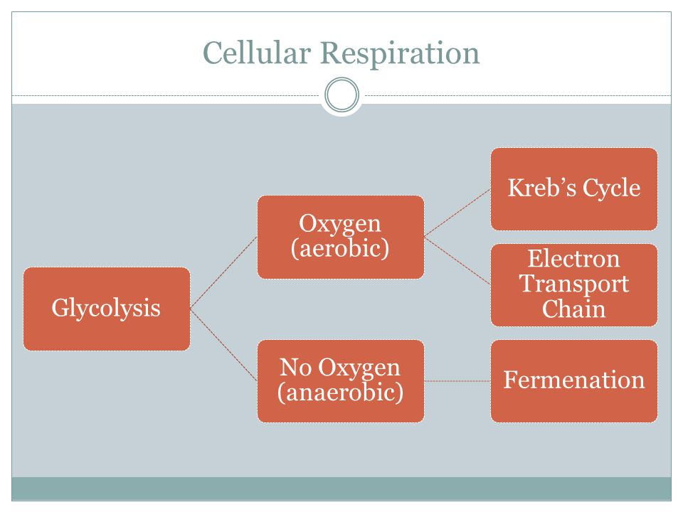 Cellular Respiration The presence of oxygen determines what follows glycolysis. When oxygen is present, the Kreb's Cycle and ETC occurs-this is called
