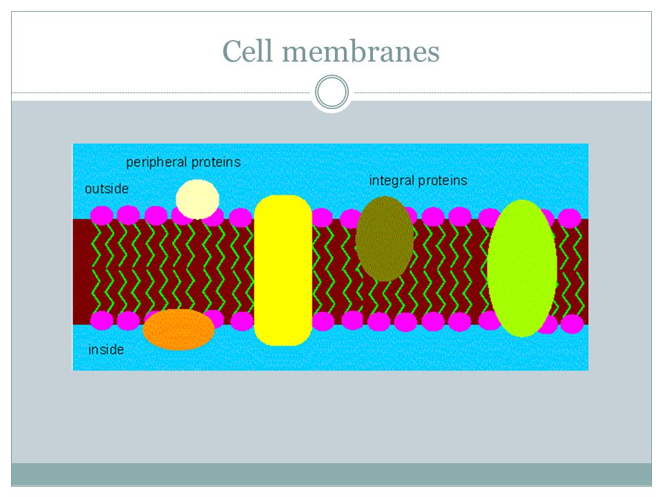 Cell membranes Proteins can also be found embedded in the membrane These proteins can act as receptor proteins that receive messages from signal molec