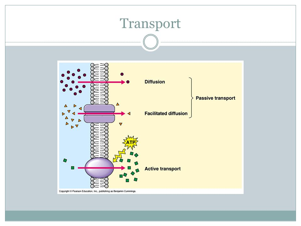 Active Transport Active transport moves materials against their concentration gradient, or from low concentration to high concentration Active transport often uses protein pumps