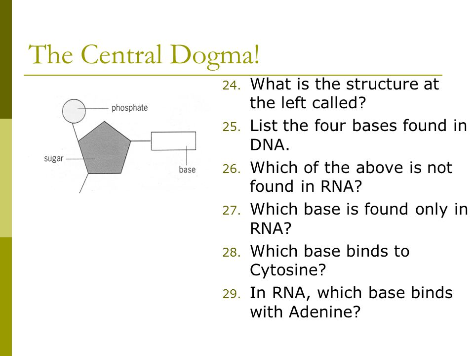 The Central Dogma. 24. What is the structure at the left called.