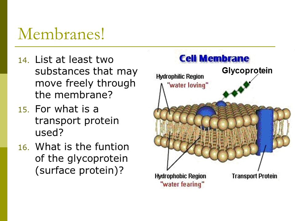 Membranes. 14. List at least two substances that may move freely through the membrane.