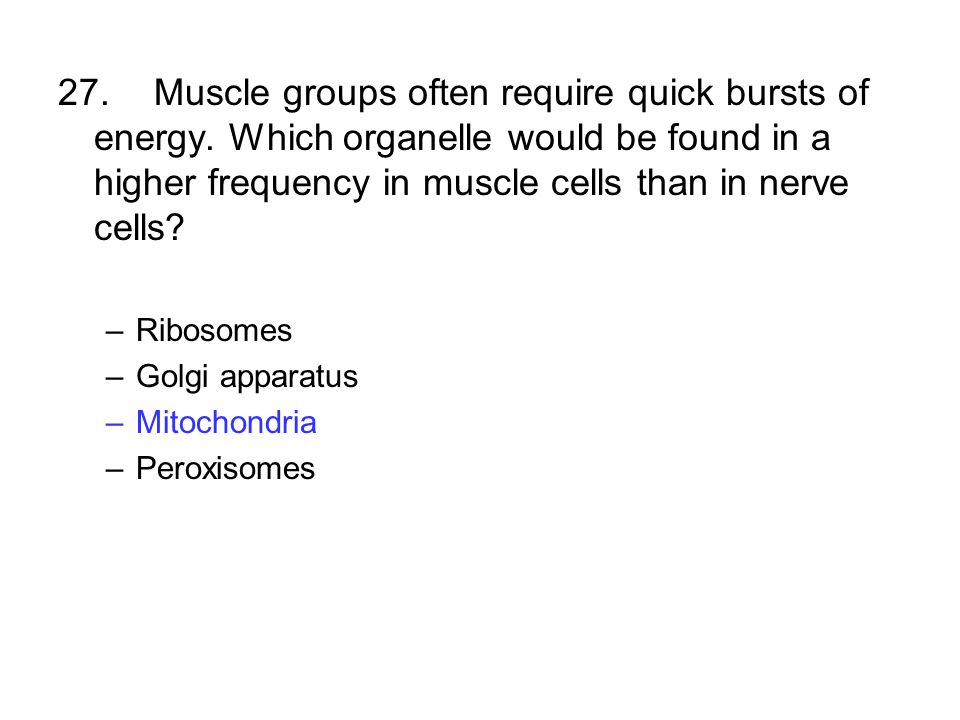 27.Muscle groups often require quick bursts of energy. Which organelle would be found in a higher frequency in muscle cells than in nerve cells? –Ribo