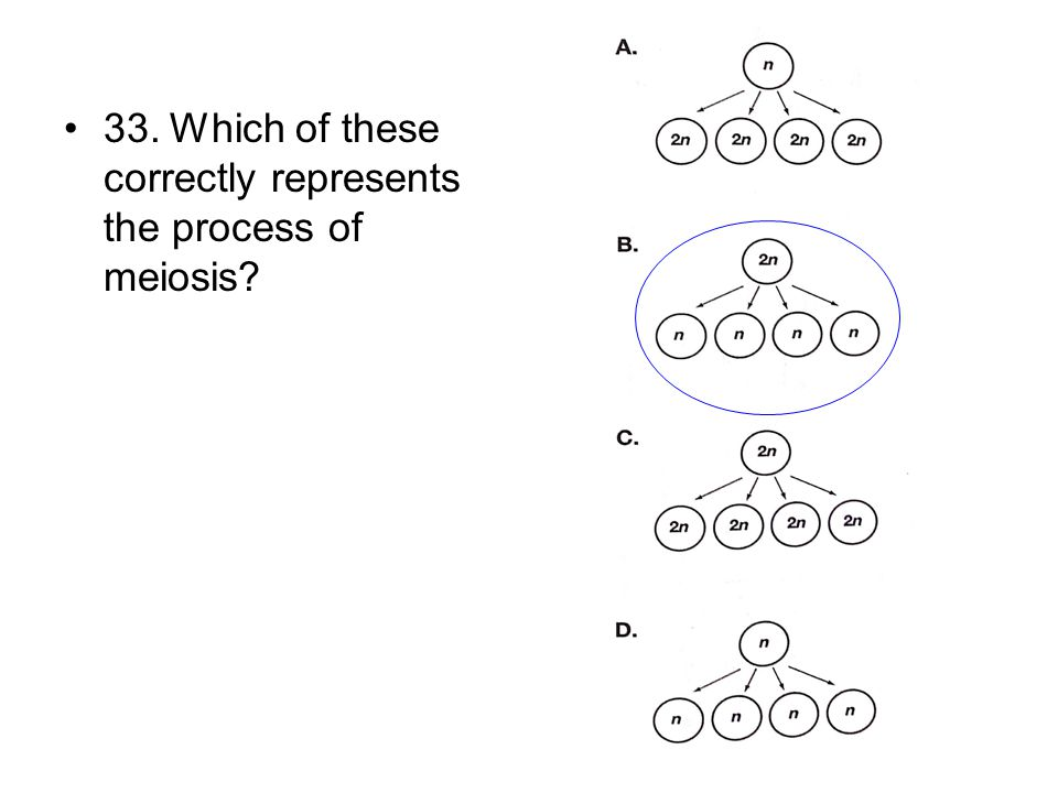 33.Which of these correctly represents the process of meiosis?