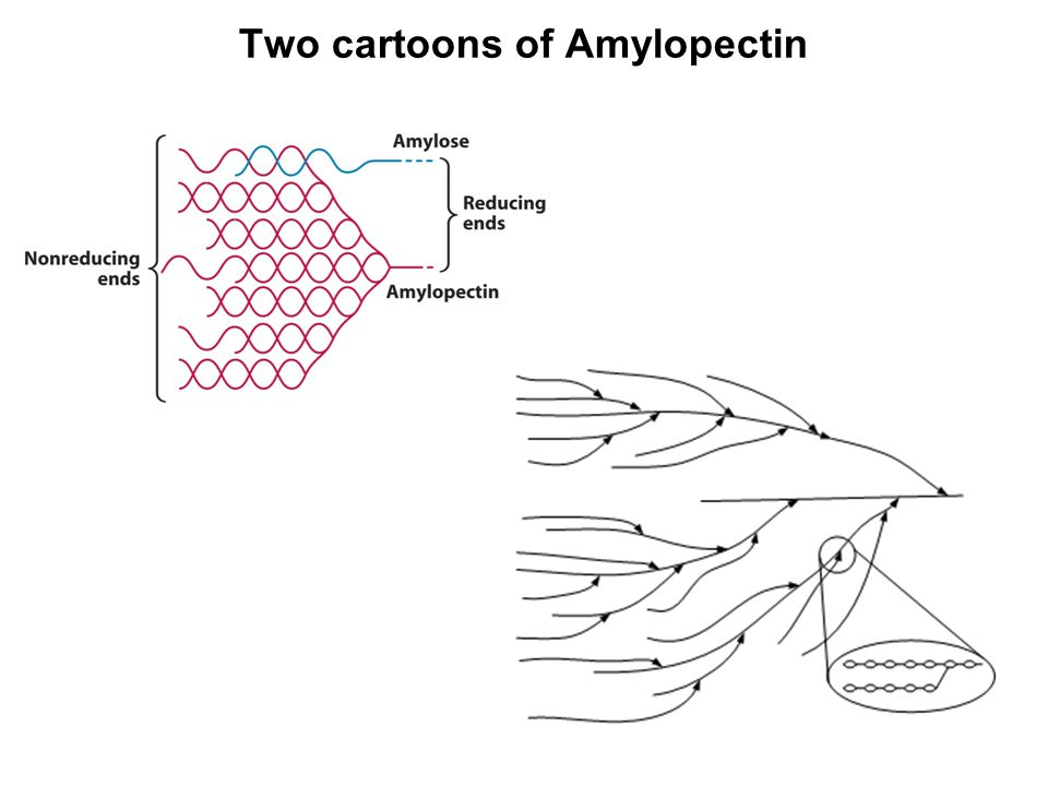 Two cartoons of Amylopectin