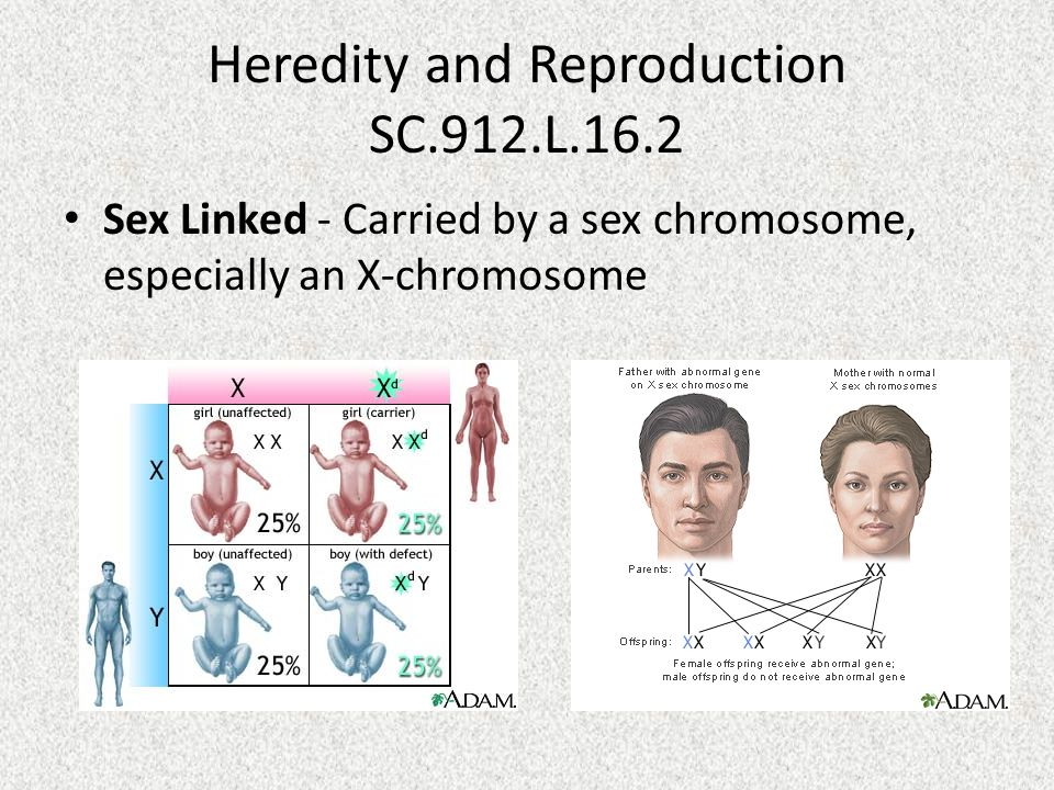 Heredity and Reproduction SC.912.L.16.2 Sex Linked - Carried by a sex chromosome, especially an X-chromosome