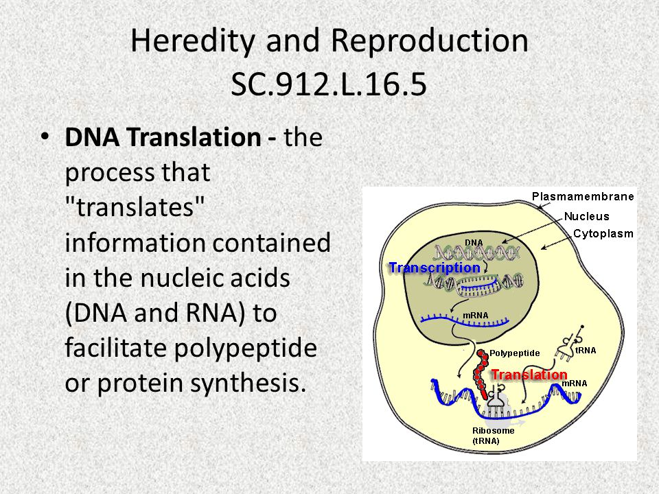 Heredity and Reproduction SC.912.L.16.5 DNA Translation - the process that translates information contained in the nucleic acids (DNA and RNA) to facilitate polypeptide or protein synthesis.