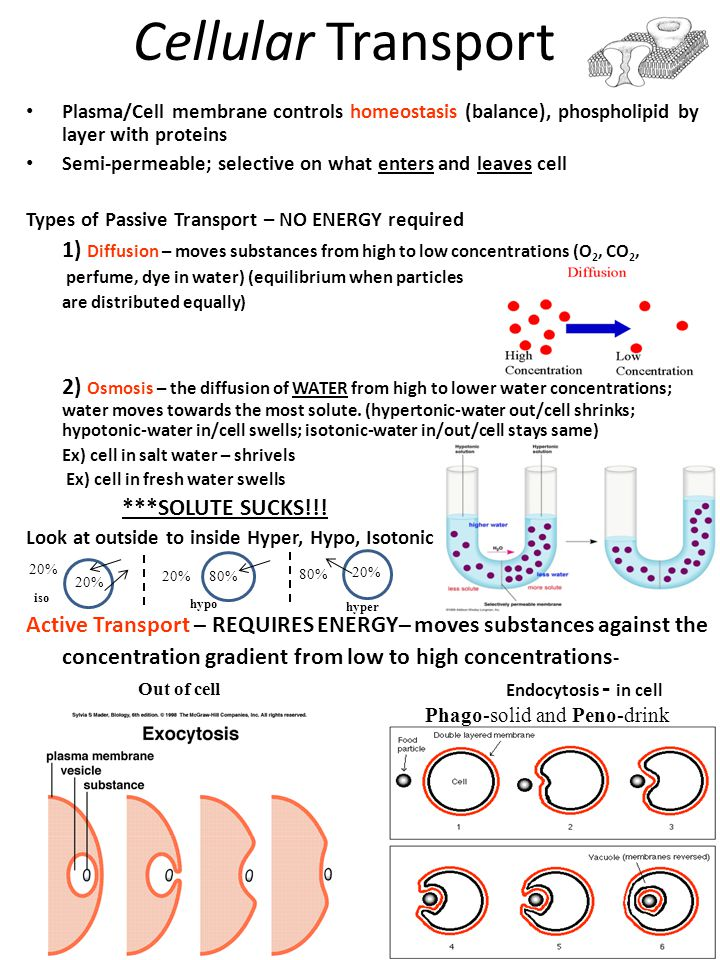Cellular Transport Plasma/Cell membrane controls homeostasis (balance), phospholipid by layer with proteins Semi-permeable; selective on what enters a