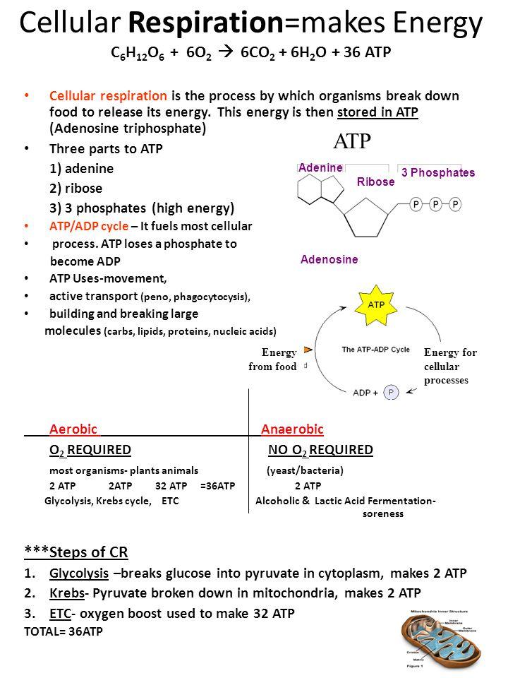 Cellular Respiration=makes Energy C 6 H 12 O 6 + 6O 2  6CO 2 + 6H 2 O + 36 ATP Cellular respiration is the process by which organisms break down food