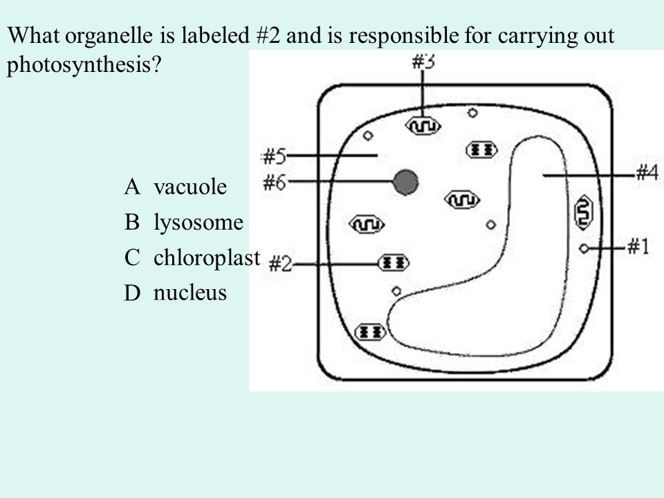 What organelle is labeled #2 and is responsible for carrying out photosynthesis.