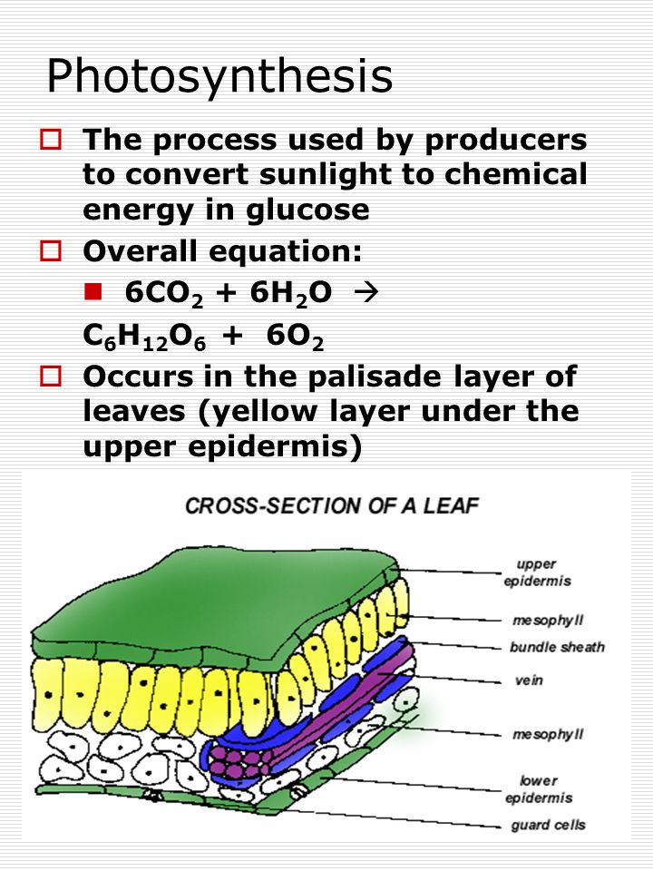 19 Photosynthesis  The process used by producers to convert sunlight to chemical energy in glucose  Overall equation: 6CO 2 + 6H 2 O  C 6 H 12 O 6 + 6O 2  Occurs in the palisade layer of leaves (yellow layer under the upper epidermis)