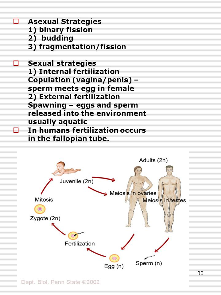 30  Asexual Strategies 1) binary fission 2) budding 3) fragmentation/fission  Sexual strategies 1) Internal fertilization Copulation (vagina/penis) – sperm meets egg in female 2) External fertilization Spawning – eggs and sperm released into the environment usually aquatic  In humans fertilization occurs in the fallopian tube.