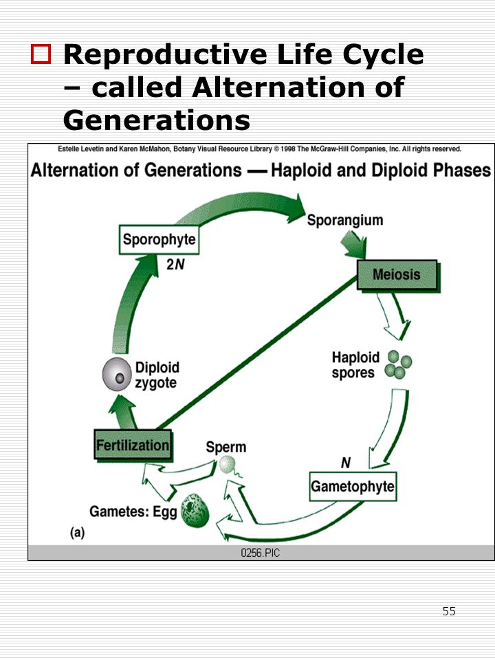 55  Reproductive Life Cycle – called Alternation of Generations