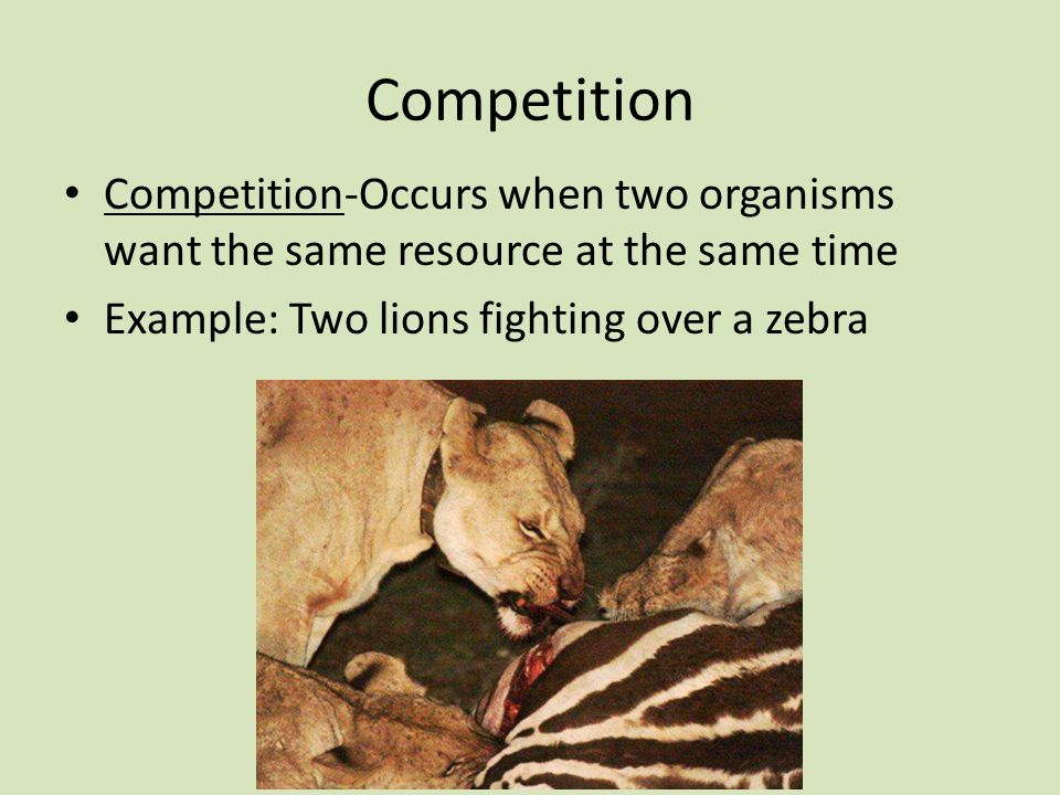 Competition Competition-Occurs when two organisms want the same resource at the same time Example: Two lions fighting over a zebra