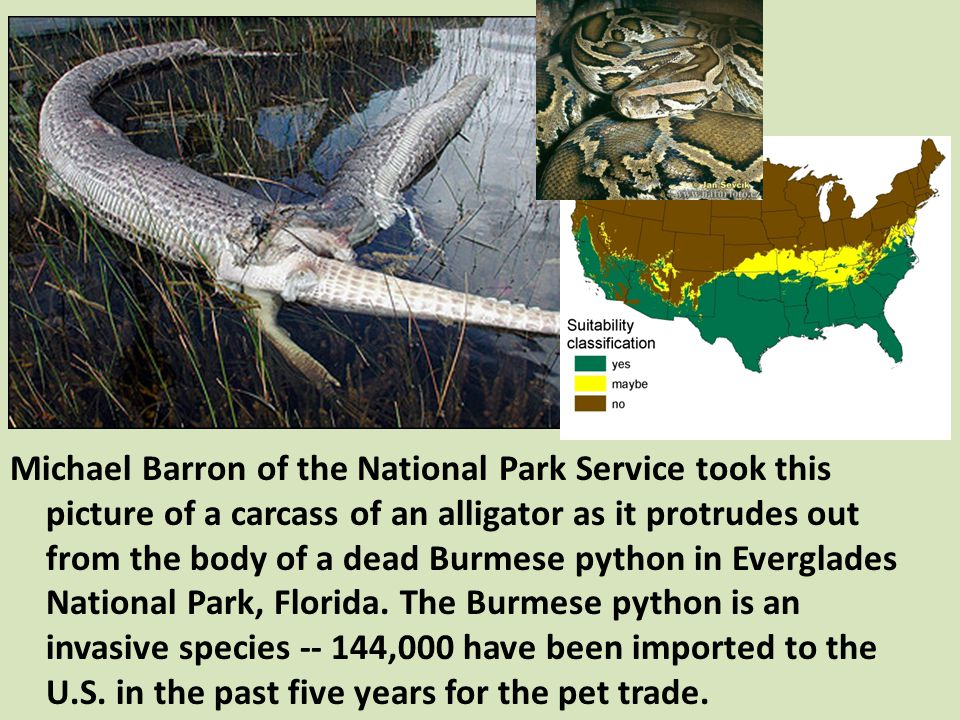 Michael Barron of the National Park Service took this picture of a carcass of an alligator as it protrudes out from the body of a dead Burmese python in Everglades National Park, Florida.