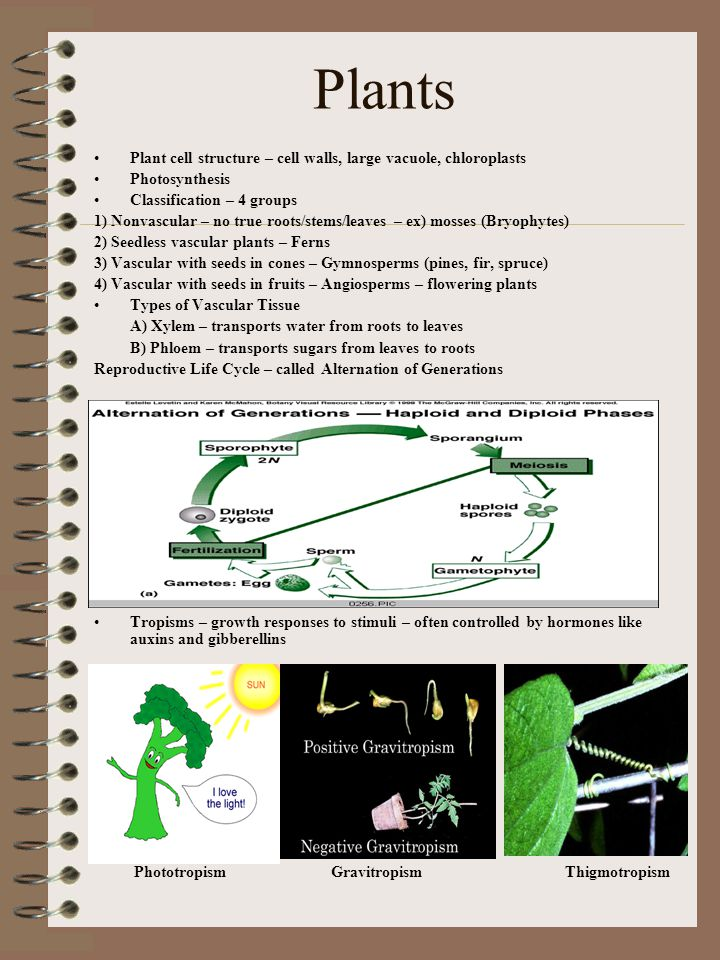 Plants Plant cell structure – cell walls, large vacuole, chloroplasts Photosynthesis Classification – 4 groups 1) Nonvascular – no true roots/stems/le