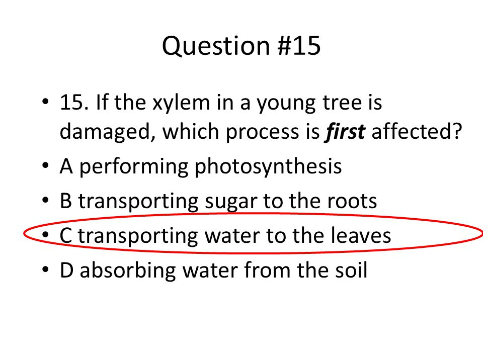 Question #15 15. If the xylem in a young tree is damaged, which process is first affected? A performing photosynthesis B transporting sugar to the roo