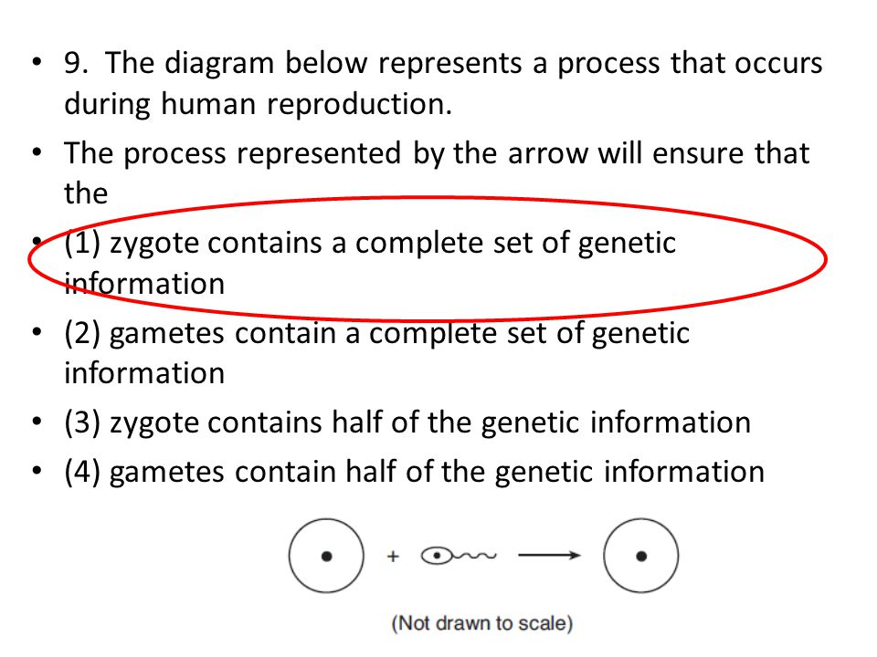 9. The diagram below represents a process that occurs during human reproduction. The process represented by the arrow will ensure that the (1) zygote