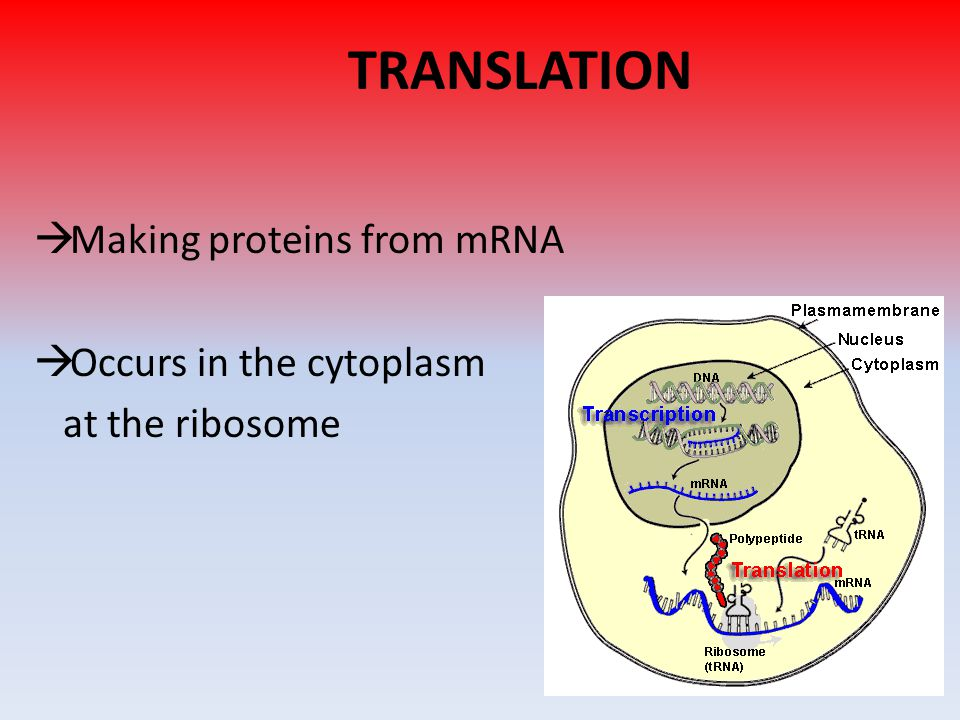 TRANSLATION  Making proteins from mRNA  Occurs in the cytoplasm at the ribosome