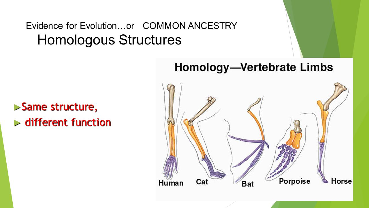 Evidence for Evolution…or COMMON ANCESTRY Homologous Structures Traits that are similar in different species because the species share a common ancest