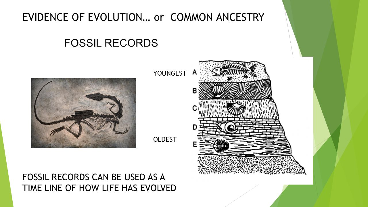 EVIDENCE OF EVOLUTION… or COMMON ANCESTRY FOSSIL RECORDS OLDEST YOUNGEST FOSSIL RECORDS CAN BE USED AS A TIME LINE OF HOW LIFE HAS EVOLVED