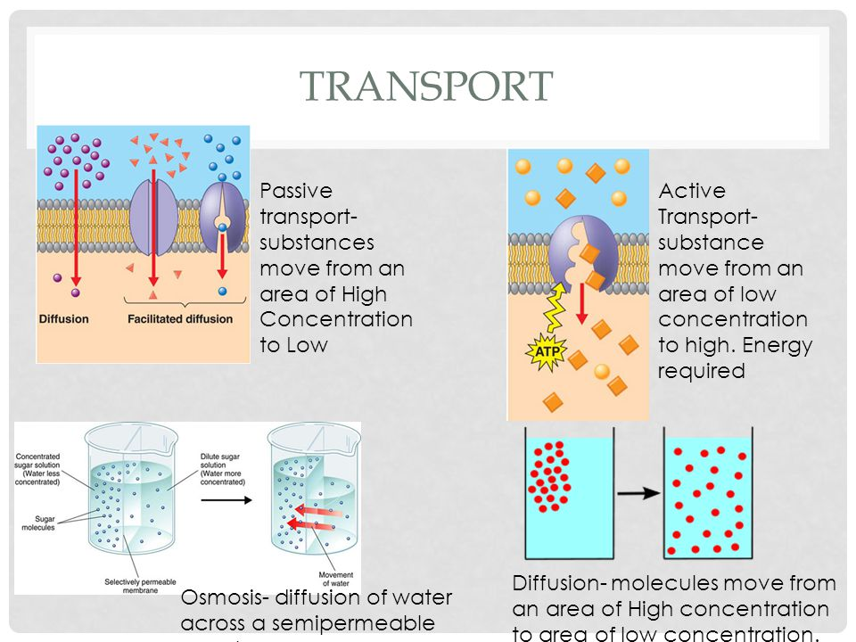 TRANSPORT Passive transport- substances move from an area of High Concentration to Low Active Transport- substance move from an area of low concentration to high.