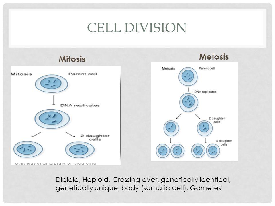 CELL DIVISION Mitosis Meiosis Diploid, Haploid, Crossing over, genetically Identical, genetically unique, body (somatic cell), Gametes