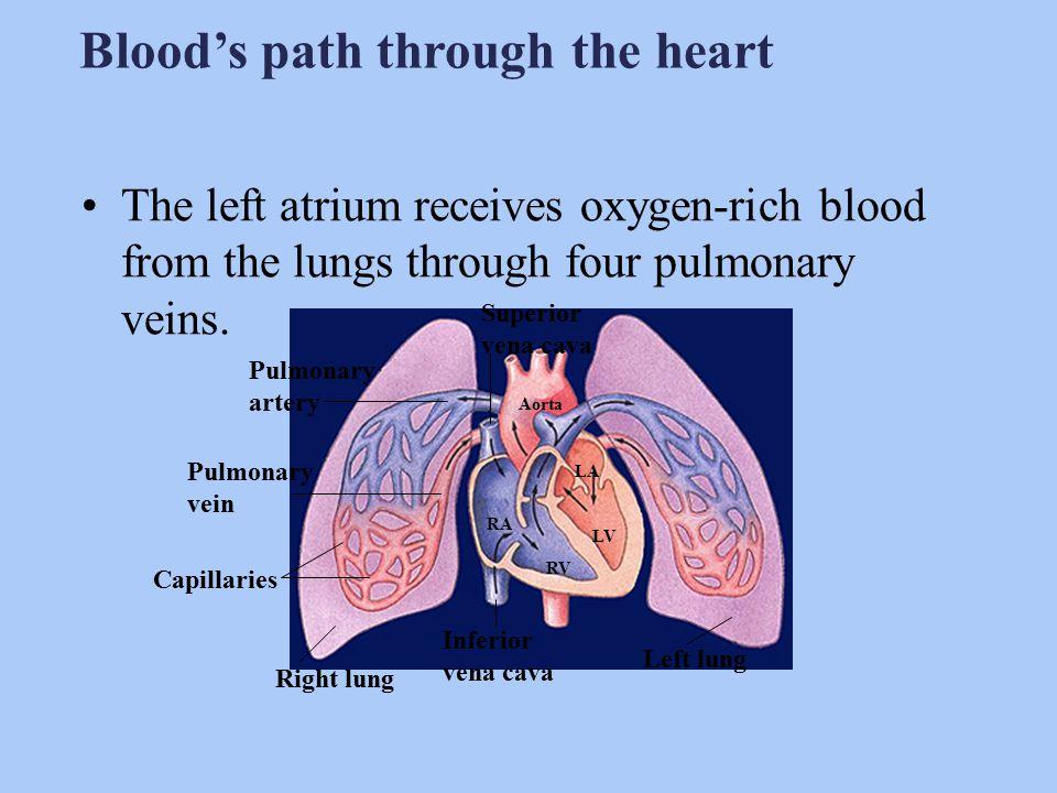 1.Aorta 2.Anterior Vena Cava 3.Posterior Vena Cava 4.Right Atrium 5.Left Atrium 6.Pulmonary Artery 7.Pulmonary Vein 8.Right Ventricle 9.Left Ventricle 10.