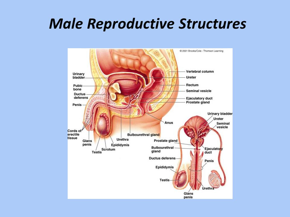 Bladder Prostrate Gland Seminal Vesicle Vas Deferens Urethra Scrotum Penis testicle Epididymis