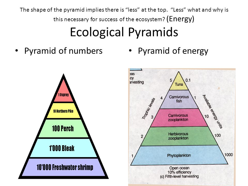 """The shape of the pyramid implies there is """"less"""" at the top. """"Less"""" what and why is this necessary for success of the ecosystem? (Energy) Ecological P"""