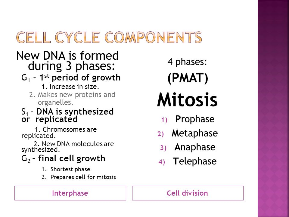 InterphaseCell division New DNA is formed during 3 phases: G 1 – 1 st period of growth 1. Increase in size. 2. Makes new proteins and organelles. S 1
