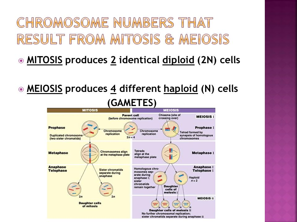  MITOSIS produces 2 identical diploid (2N) cells  MEIOSIS produces 4 different haploid (N) cells (GAMETES)