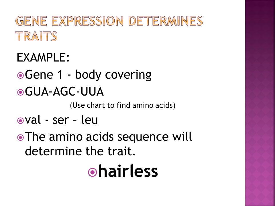 EXAMPLE:  Gene 1 - body covering  GUA-AGC-UUA (Use chart to find amino acids)  val - ser – leu  The amino acids sequence will determine the trait.
