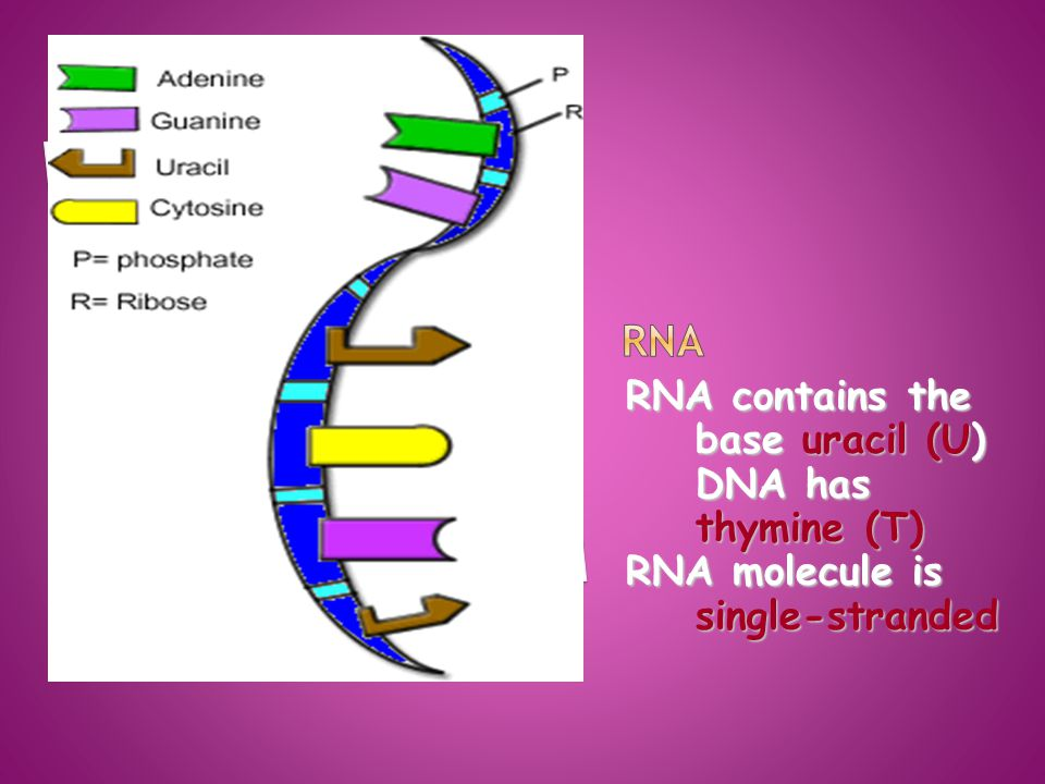 RNA contains the base uracil (U) DNA has thymine (T) RNA molecule is single-stranded