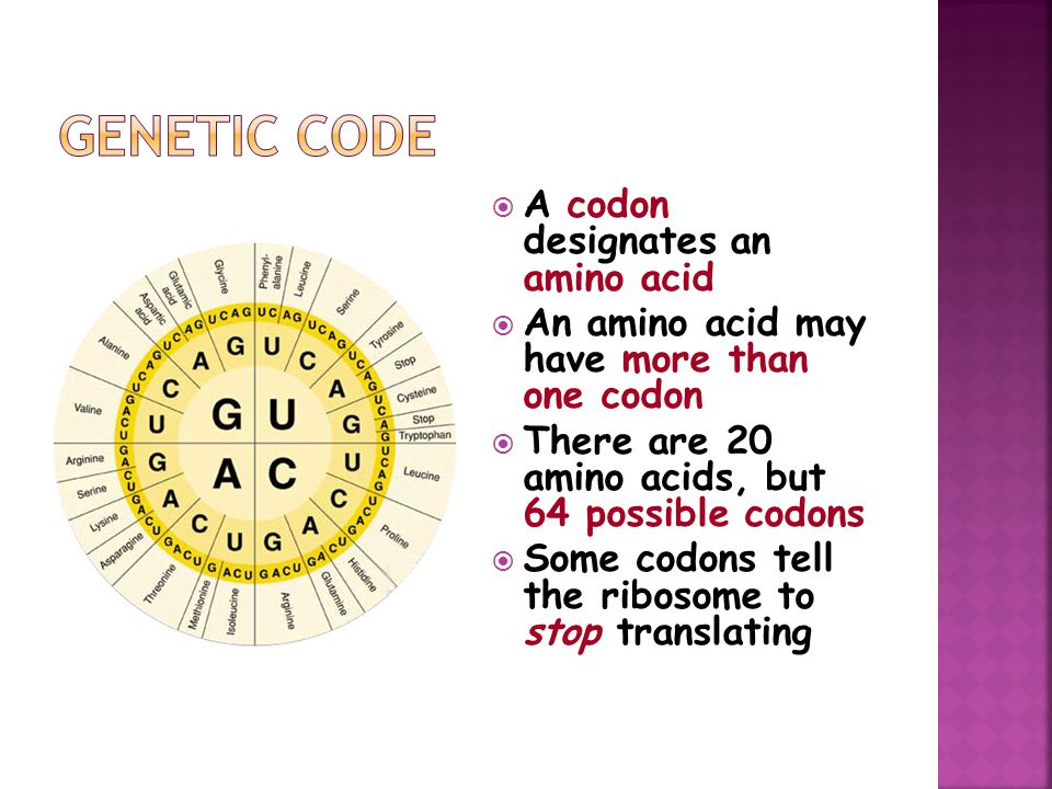  A codon designates an amino acid  An amino acid may have more than one codon  There are 20 amino acids, but 64 possible codons  Some codons tell the ribosome to stop translating