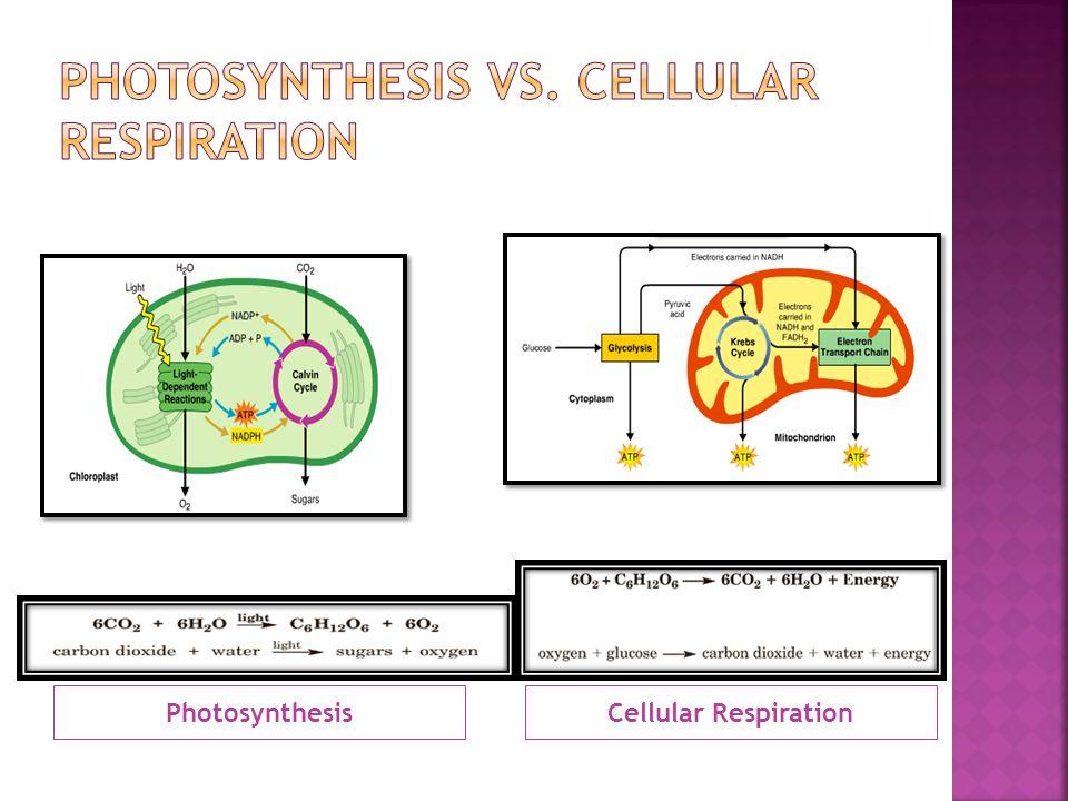 PhotosynthesisCellular Respiration