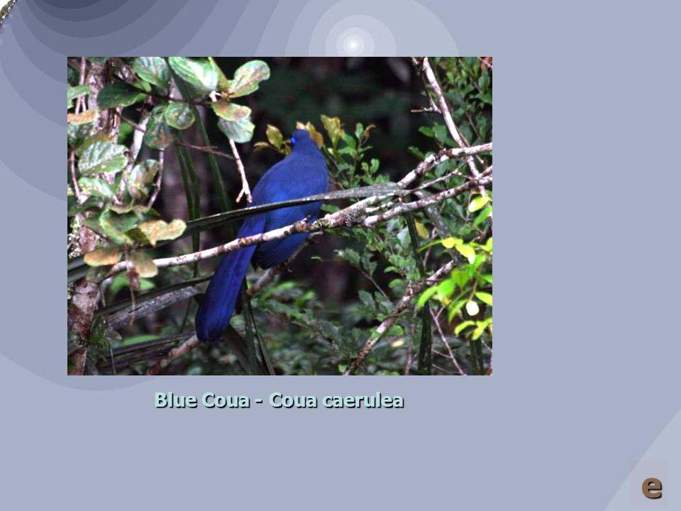Giant Coua – Coua gigas e