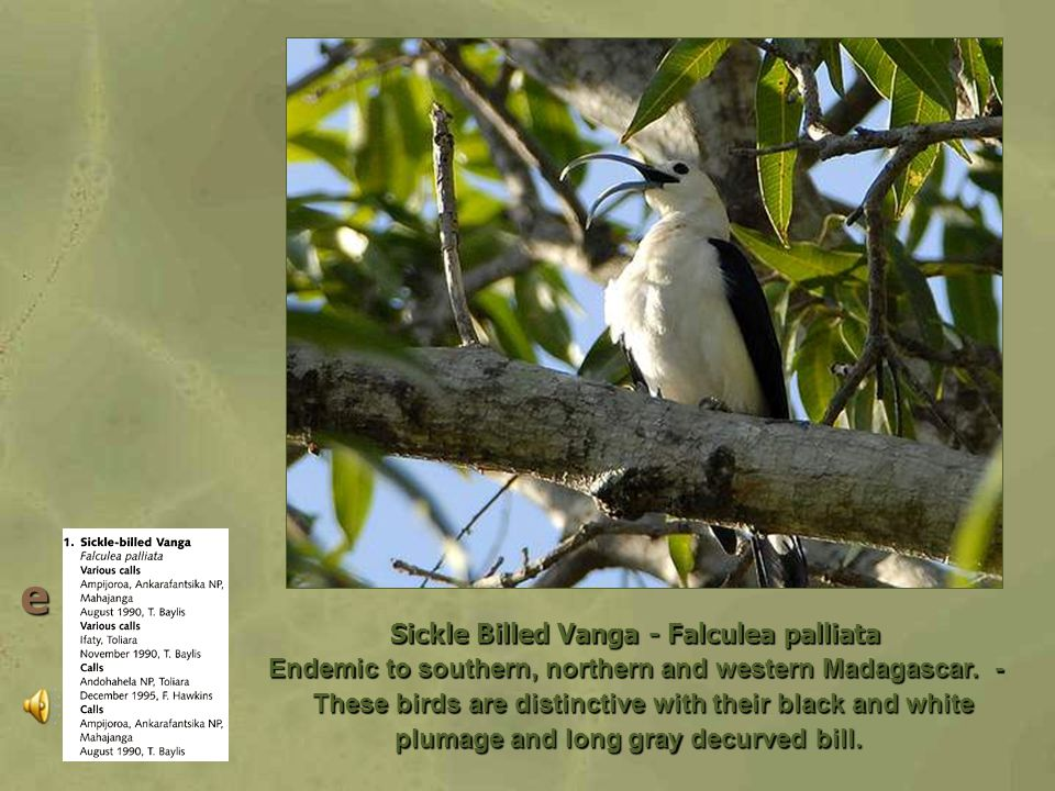 Blue Vanga – Cyanolanius Madagascarinus Vangas Family: Vangidae The vangas are shrike-like, arboreal forest birds, feeding on reptiles, frogs and insects.