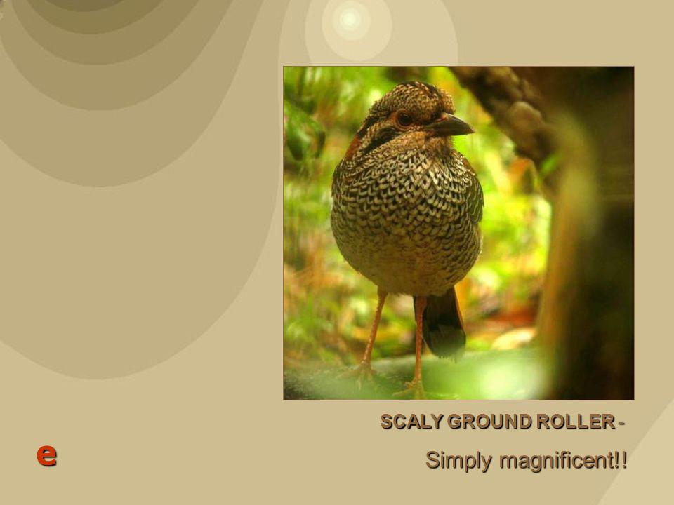 Scaly Ground Roller - Brachypteracias squamiger e