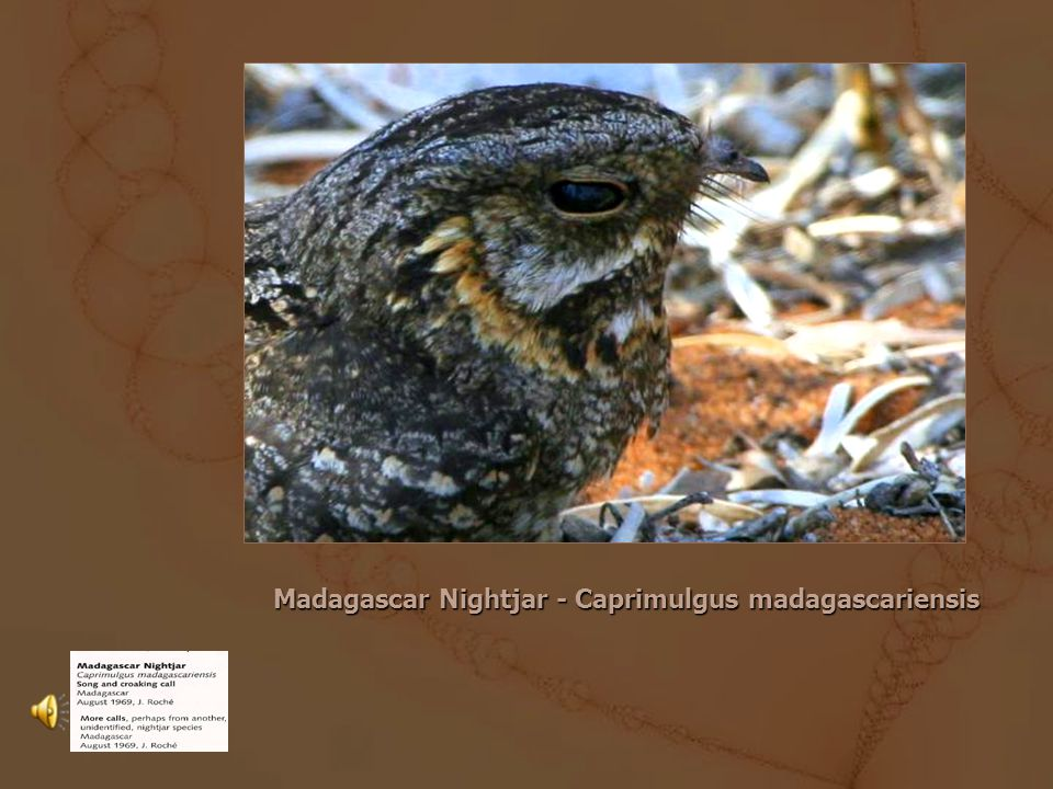 The Collared Nightjar Caprimulgus enarratus Its natural habitats are subtropical or tropical moist lowland forests and subtropical or tropical mangrove forests.