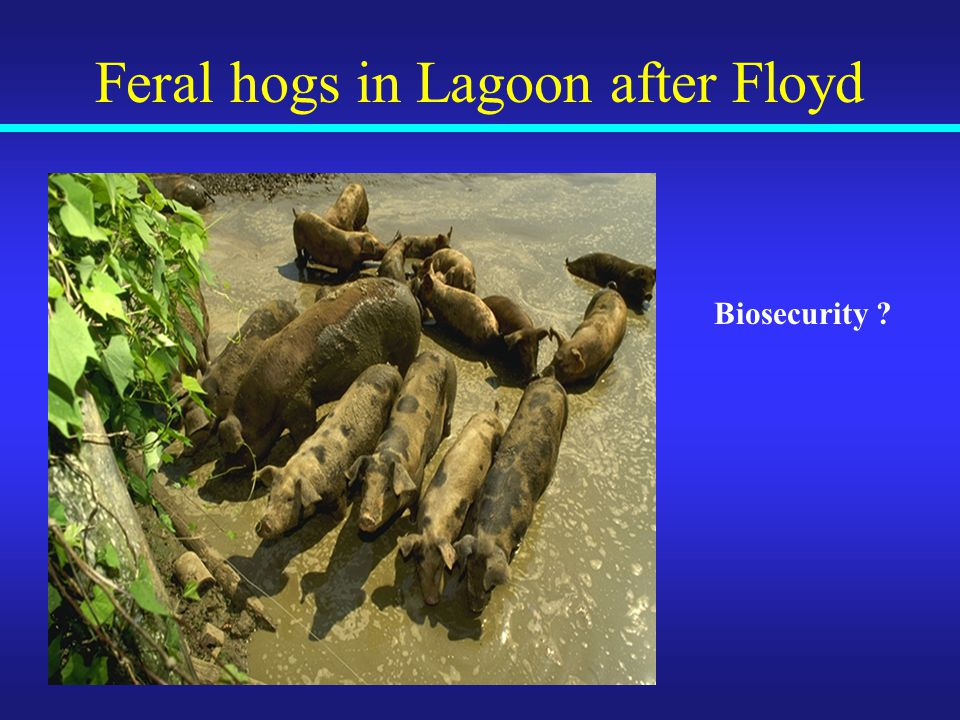 Feral hogs in Lagoon after Floyd Biosecurity