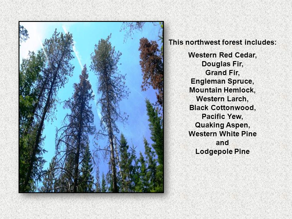 This northwest forest includes: Western Red Cedar, Douglas Fir, Grand Fir, Engleman Spruce, Mountain Hemlock, Western Larch, Black Cottonwood, Pacific