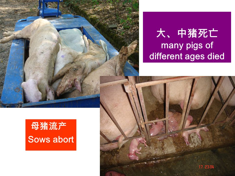Food Supply Veterinary Services Veterinary Diagnostic and Production Animal Medicine Iowa State University 母猪流产 Sows abort 大、中猪死亡 many pigs of differe
