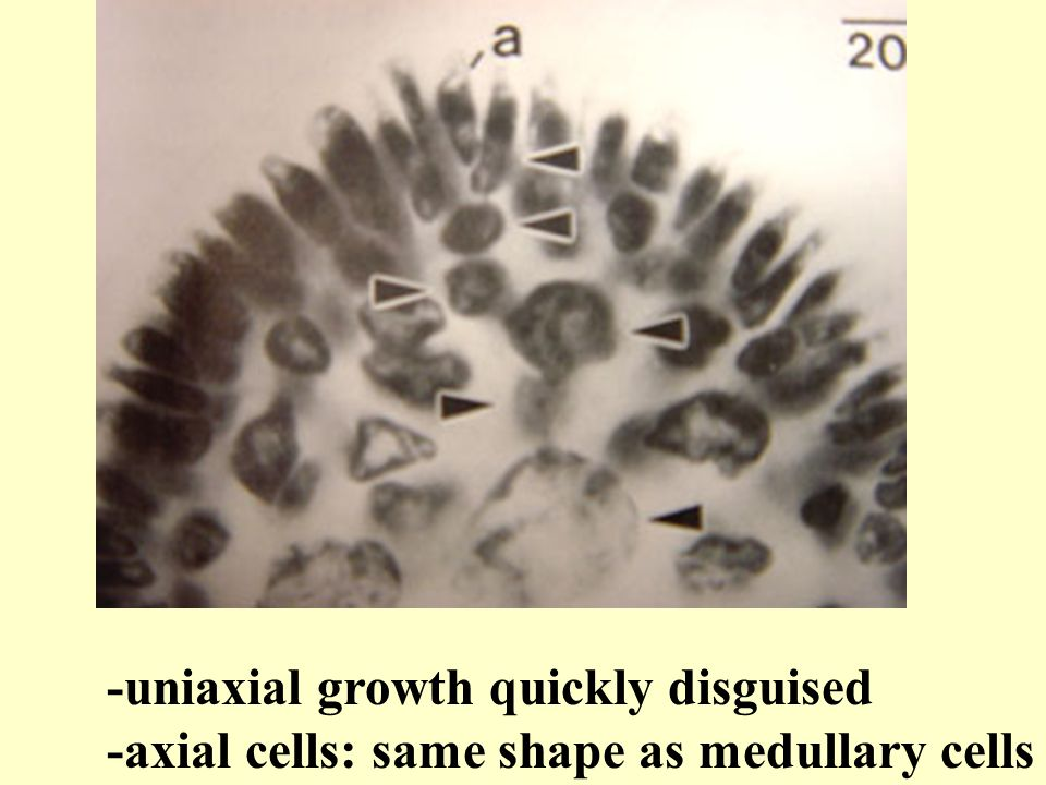 -uniaxial growth quickly disguised -axial cells: same shape as medullary cells