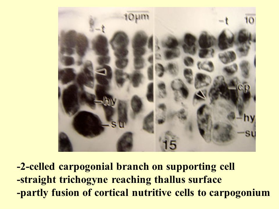 -2-celled carpogonial branch on supporting cell -straight trichogyne reaching thallus surface -partly fusion of cortical nutritive cells to carpogonium